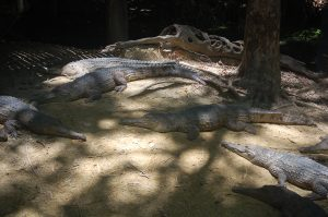 Photo of a lot of crocs sunbathing