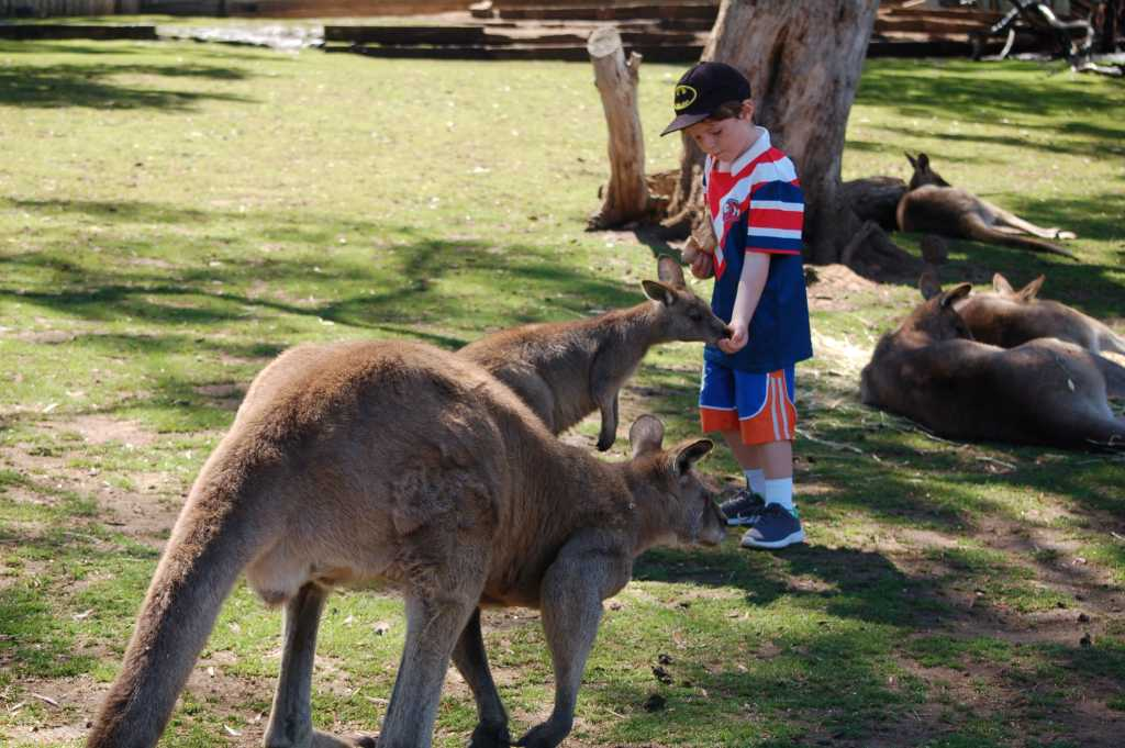 Feeding a kangaroo at Bonorong Wildlife Sanctuary