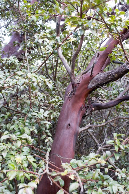 A Montara Manzanita shrub. Smaller branches are often used for floral arrangements. Dawn Page/CoastsideSlacking