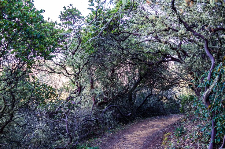Coastal scrub line Brooks Creek Trail above the waterfall overlook. Dawn Page/CoastsideSlacking