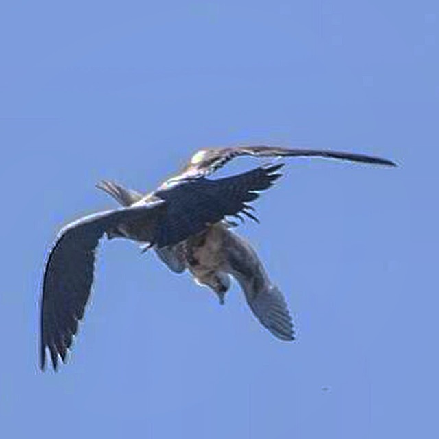 Falcon kills Ross's Gull