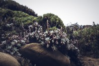 Moody succulents at Garrapata State Beach. Dawn Page/CoastsideSlacking