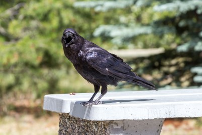 One of Banff National Park's picnic table sized ravens. Dawn Page / CoastsideSlacking
