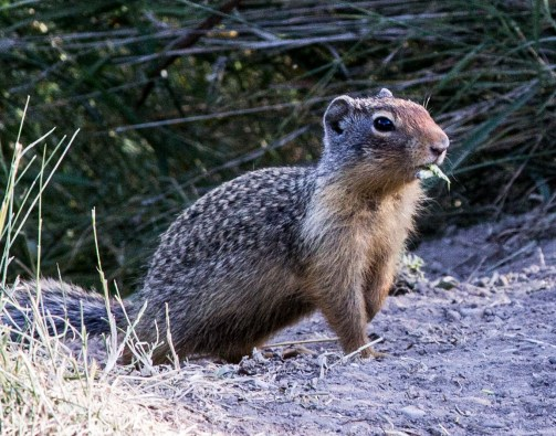 Columbian ground squirrel (prairie dog) at Banff National Park. Dawn Page / CoastsideSlacking