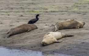 Moss Landing seals and a stray oystercatcher after the frat party. Dawn Page / CoastsideSlacking