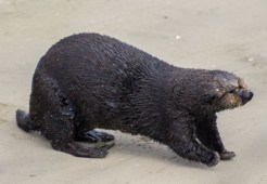 Sea otter not as cute on land at Moss Landing. Dawn Page / CoastsideSlacking