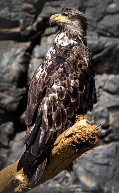Golden eagle perched above the Snake River. Dawn Page / CoastsideSlacking