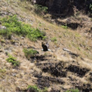 One of the 3 fuzzy pictures of 3 different bald eagles we saw while jet boating the Snake River. Dawn Page / CoastsideSlacking