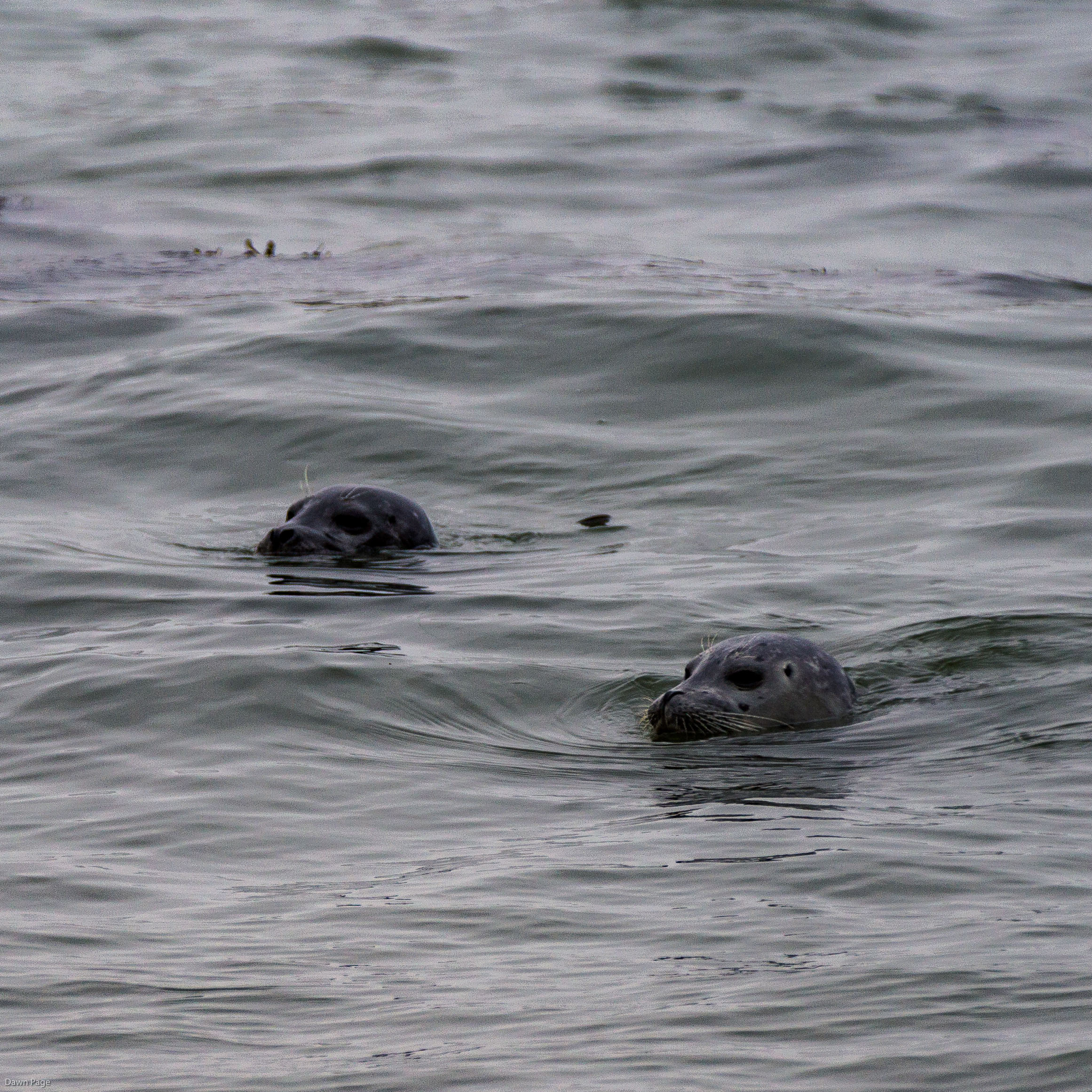 Seals spending the afternoon watching humans at Martins Beach, near Half Moon Bay, California. Dawn Page / CoastsideSlacking
