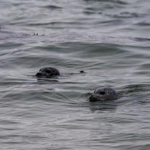 Harbor seals checking out the action at Martin's Beach near Half Moon Bay. Dawn Page / CoastsideSlacking