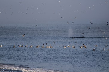 A whale participates in the feeding frenzy at Surfer's Beach near Half Moon Bay. Dawn Page / CoastsideSlacking