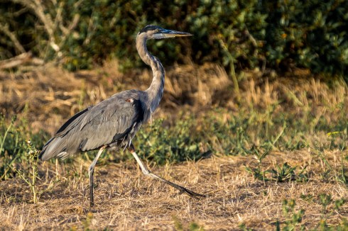 A great blue heron takes a stroll on the bluffs of Surfer's Beach near Half Moon Bay. Dawn Page / CoastsideSlacking