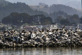 Pelican party at Pillar Point Harbor. Dawn Page / CoastsideSlacking