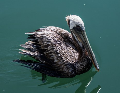 Pelican waiting for a handout at Pillar Point Harbor. Dawn Page / CoastsideSlacking