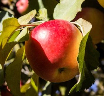 Fall in Sonoma -- Hale's Apple Farm. Dawn Page / CoastsideSlacking
