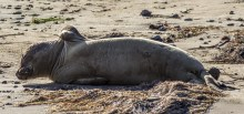 Young male elephant seal trying to scratch one of those impossible back itches. Looks like he finally reached it. Año Nuevo State Park in Pescadero, California. Dawn Page / CoastsideSlacking.