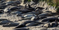 Young male elephant seals at Año Nuevo State Park in Pescadero, California. Dawn Page / CoastsideSlacking.