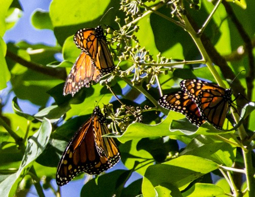 Monarch butterflies at Natural Bridges State Park in Santa Cruz. Dawn Page / CoastsideSlacking.