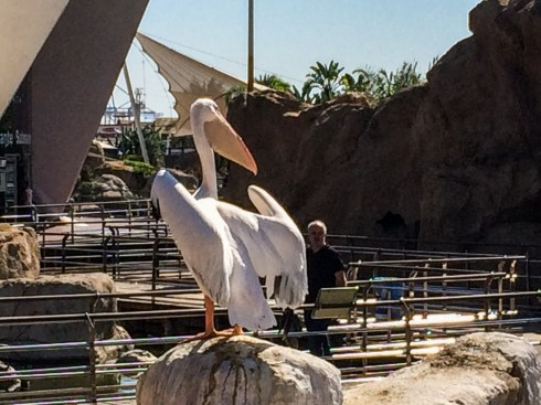 Pelican at L'Oceanogràfic in Valencia, Spain. Dawn Page / CoastsideSlacking