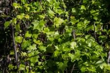 English Ivy. Montara Mountain. Dawn Page / CoastsideSlacking