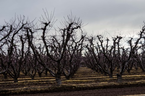 Orchards near bloom along the Blossom Trail near Fresno, CA. Dawn Page / CoastsideSlacking
