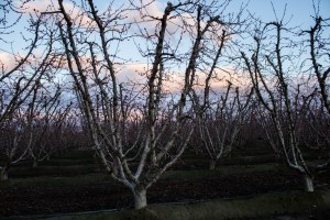 Orchards near bloom and a bonus sunset along the Blossom Trail near Fresno, CA. Dawn Page / CoastsideSlacking