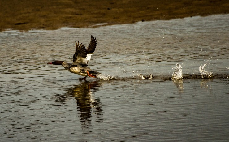 Common merganser. Pescadero Marsh Natural Preserve. Dawn Page/Coastside Slacking