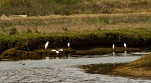 Snowy egrets. Pescadero Marsh Natural Preserve. Dawn Page/Coastside Slacking
