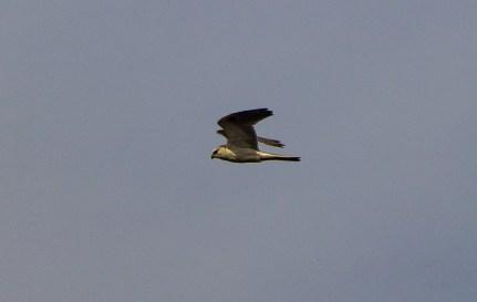 Red-tailed hawk. Pescadero Marsh Natural Preserve. Dawn Page/Coastside Slacking