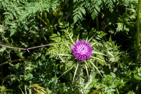 Bull thistle on the Dias Ridge Trail. Dawn Page/CoastsideSlacking