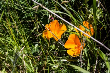 California poppies on the Dias Ridge Trail. Dawn Page/CoastsideSlacking