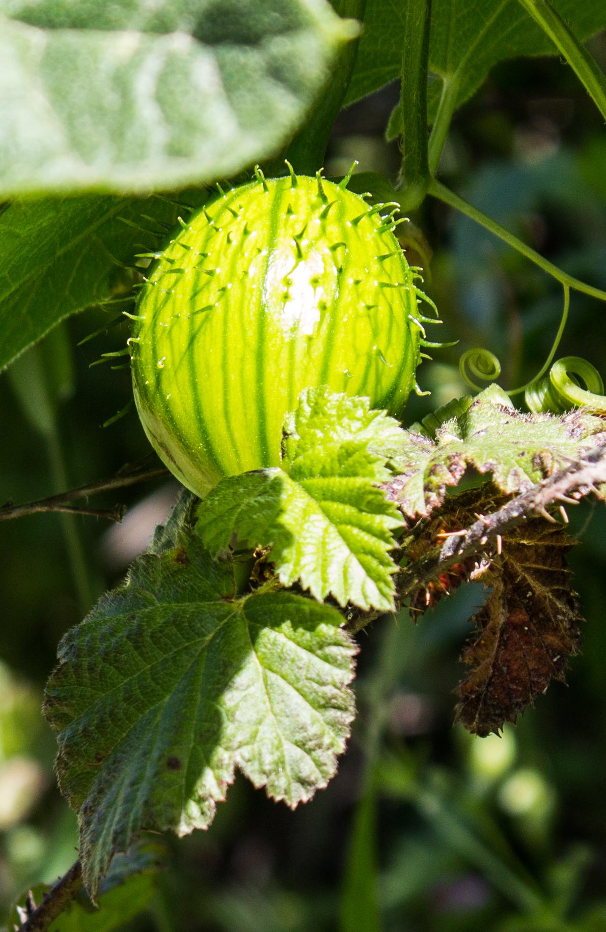 Wild cucumber (manroot). Dawn Page/CoastsideSlacking