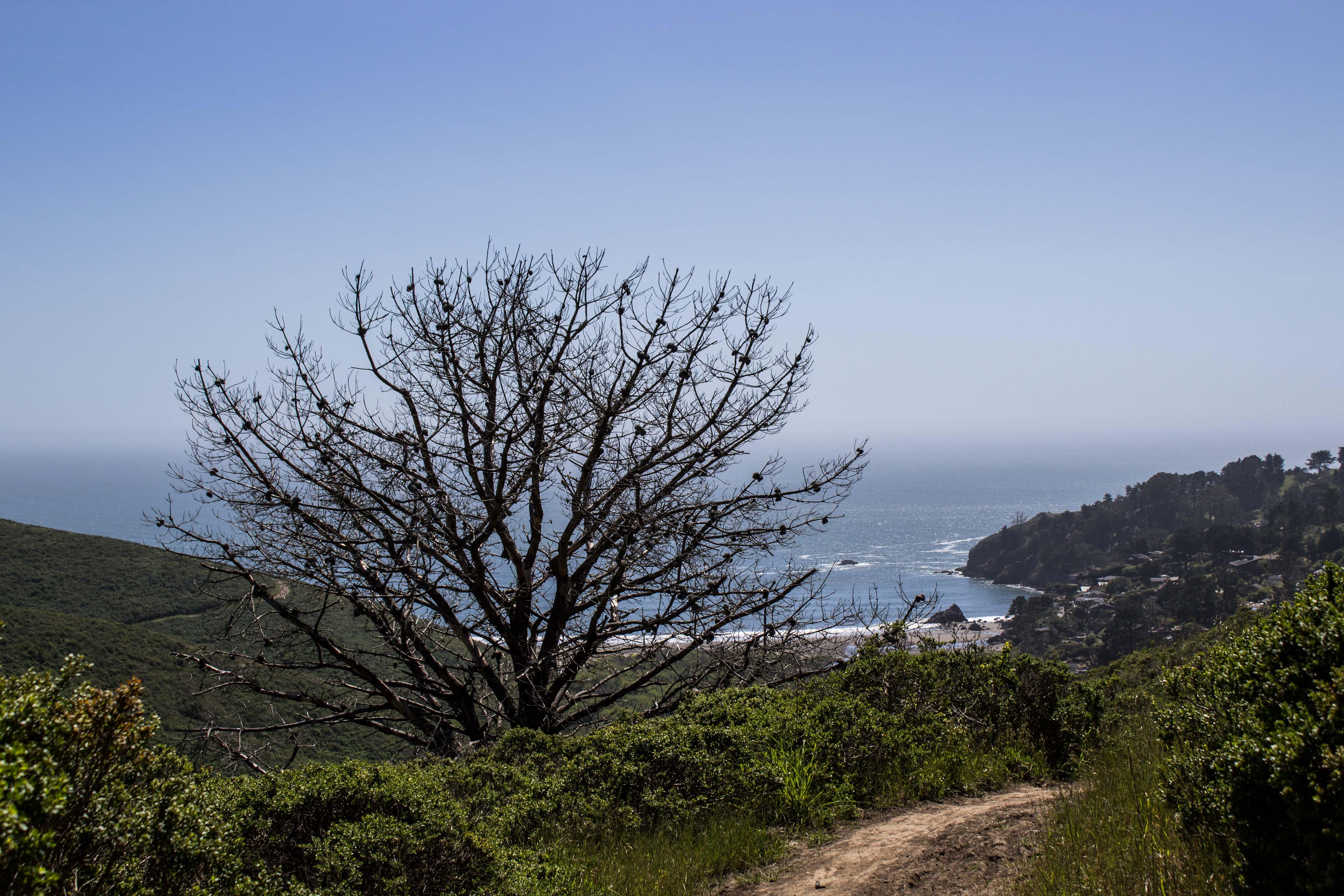 Dead conifer on Dias Ridge Trail. Dawn Page/CoastsideSlacking