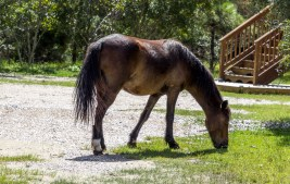 Feral Mustang, Outer Banks. Dawn Page/CoastsideSlacking