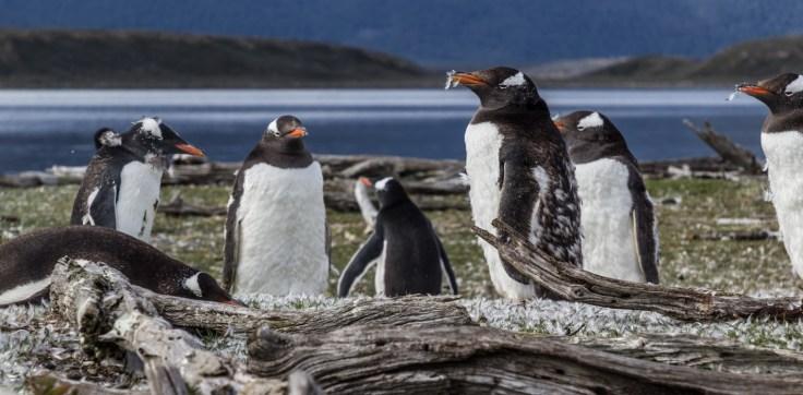 Gentoo penguins, Tierra del Fuego. Dawn Page/CoastsideSlacking