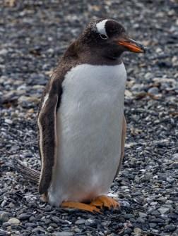 Gentoo penguin, Tierra del Fuego. Dawn Page/CoastsideSlacking
