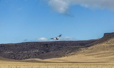 Andean condor. Dawn Page/CoastsideSlacking