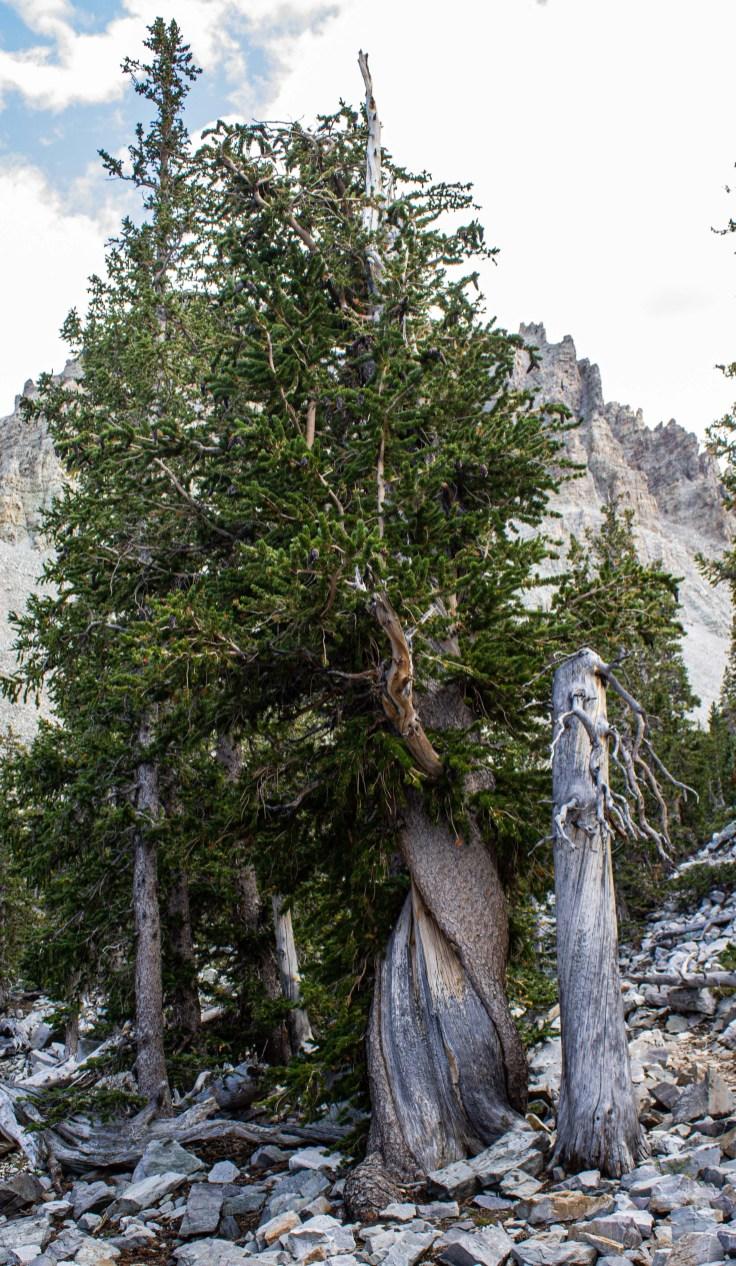 Bristlecone pines at Wheeler Peak in Great Basin National Park. Dawn Page/CoastsideSlacking