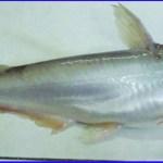 cá dứa tự nhiên