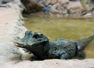 African Dwarf Crocodile