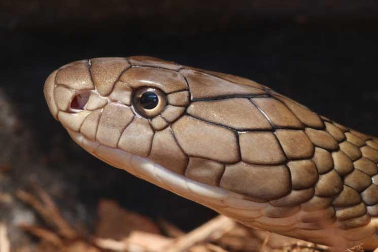 Snake Brain: How Intelligent are Cobras? – Cobras.org
