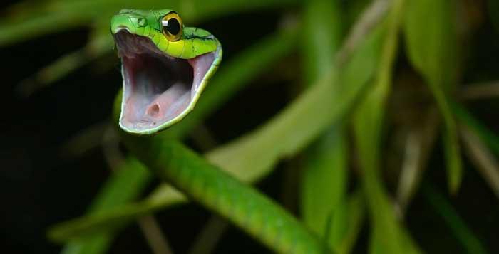 Parrot Snake