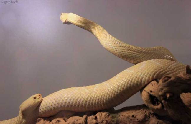 Albino Eastern Diamondback Rattlesnakes