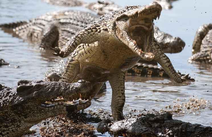 Cuban Crocodile Family Returns To Castro Cobras