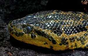 Anaconda facts