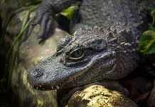 types of crocodiles