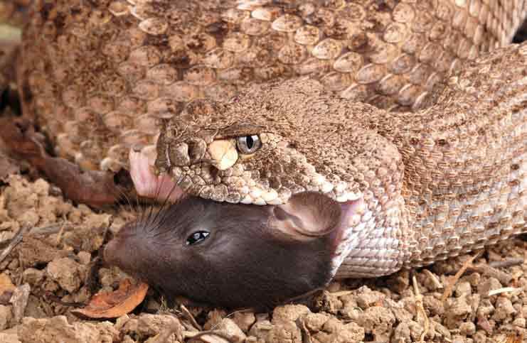 Where Do Diamondback Rattlesnakes Live