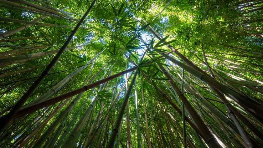 tall bamboo branches with green leaves