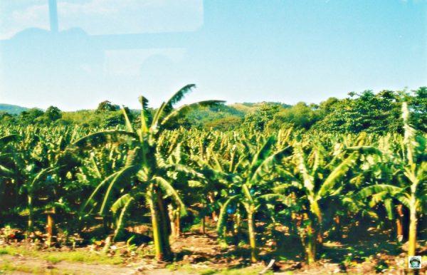Piantagone di banane in Giamaic