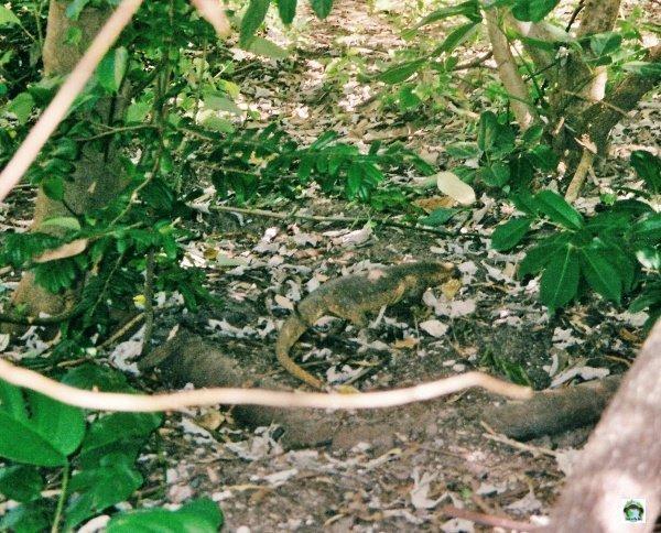 lucertole Lizard Island